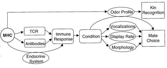 Flow Chart from: Zelano, B., and Edwards, S.V. (2002). An Mhc component to kin recognition and mate choice in birds: Predictions, progress, and prospects. Am Nat, 160: S225-S237